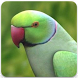 Rose Ringed Parakeet Sound: Ring Neck Parrot Song by Nic and Chloe Studio