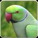 Rose Ringed Parakeet Sound: Ring Neck Parrot Song