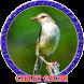 Master Kicau Burung Ciblek Gacor