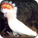 Cockatoo Wallpapers by HAnna