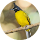 Black-crested bulbul bird sounds by Chatree Bamrung
