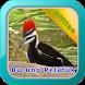 Master Kicau Burung Pelatuk by Iklil Studio