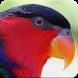 Suara Burung Nuri : Kicau Burung Nuri Masteran by Nic and Chloe Studio