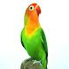 Master Kicau Lovebird Lengkap by ard app