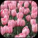 Tulips wallpapers by veronikadev