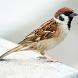 Kicau Burung Gereja Tarung Komplit Hd by Jehova app