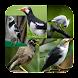 Kicauan Burung Jalak Terlengkap by Silalahi App