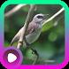 Kicau Burung Trucukan by LabKicau
