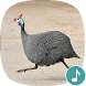 Appp.io - Guinea Fowl Sounds & Calls by Appp.io