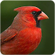 Cardinal Bird Sounds: Cardinal Sound&Cardinal Song by Nic and Chloe Studio