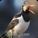 Kicau Master Jalak Suren by Jehova app