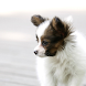 Dog Puzzle: Papillon by chenyong