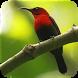 Masteran Suara Burung Kolibri by Majujayadut