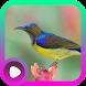 Kicau Burung Wiceh by LabKicau