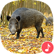 Appp.io - Wild Boar Sounds by Appp.io