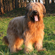 Briard Jigsaw Puzzle by dogpuzzles