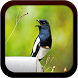 Kicau Kacer Terlengkap by cak app