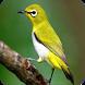 Kicau Burung Pleci Terbaru by Jehova app
