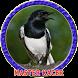 Master Kacer Gacor Juara