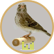 Kicau Burung Edel Sanger by Asfa Labs