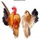 Budidaya Ayam Serama by Viren Lemmer
