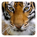 Tiger Live Wallpaper by Live Wallpapers Ultra