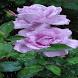 Purple Rainy Rose LWP by Daksh Apps