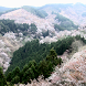 Japan:MountYoshino Sakura by takemovies