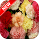 Carnation Wallpapers by Fresh Wallpapers
