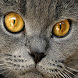 British Shorthair Puzzle by puzzlemeoy