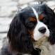 Cavalier Spaniel Dogs Themes by altothem