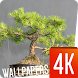 Bonsai Wallpapers 4K by Ultra Wallpapers