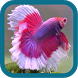Betta Fish Beauty by chienthang