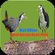 Suara Pikatan Burung Ruak-Ruak by SHEILA_APPS