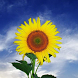 Sunflower Wallpapers by fryttyteam