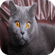 British Shorthair Wallpapers by Laland Apps