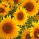 Sunflower Jigsaw Puzzle by mikhailmorozov