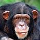 Chimp Memory Test by Przemyslaw Gruchala