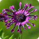 African Daisies - Wallpapers by Hojasoft, LLC