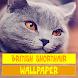 British Shorthair Cat Wallpaper by Tirtayasa Wallpaper