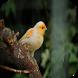 تربية طائر الكناري by Drjob Studio