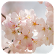 Sakura Live Wallpaper by Amazing Live Wallpaperss