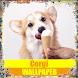 Corgi Dog Wallpaper by Tirtayasa Wallpaper
