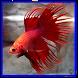 3D Betta Fish by Arrayah