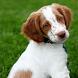 Brittany Spaniel Dogs Wallpape by altothem