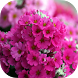 Pink Flowers Live wallpaper by Revenge Solution