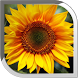 Sunflower Live Wallpaper by POP TOOLS