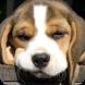 Beagle Dog Wallpaper by WallpapersCompany