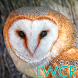 free live owl wallpaper by lwcr