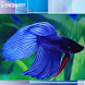 Betta Contest by Giewaw